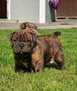 Old English Bulldog Welpen